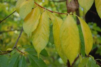 Diospyros virginiana Autumn Leaf (18/10/2014, Real Jardín Botánico de Madrid)