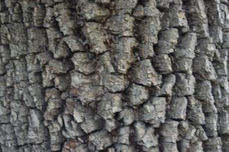 Diospyros virginiana Autumn Bark (18/10/2014, Real Jardín Botánico de Madrid)