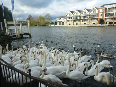Swans by the Thames in Windsor, Berkshire.