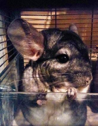 The Story of Chinchillas in 20 Photos