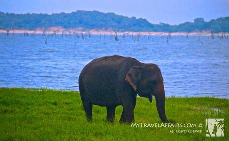 Kaudulla National Park, Sri Lanka, Elephants