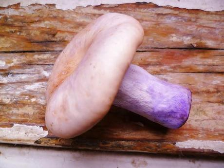 wood blewits: the most beautiful mushroom of all