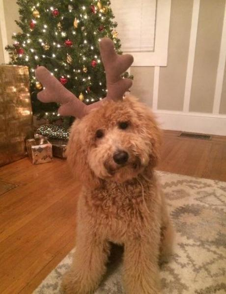 Top 10 Pictures of Dogs in Reindeer Costumes