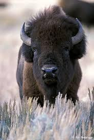 Why Buffalo Should be Protected by the Endangered Species Act