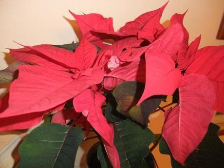 Blooming Friday – Christmas