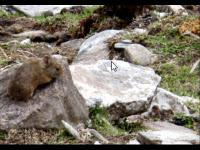 RUNDA - survival mammal in kedarnath
