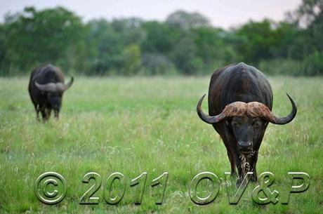 buffalo pair eating grass at Mabula Private Game Reserve