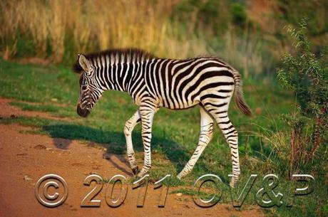 Baby zebra crossing a dirt road