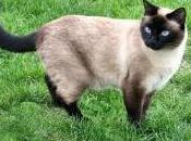 Featured Animal: Siamese