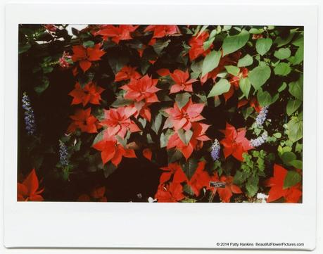 Red Poinsettia © 2014 Patty Hankins