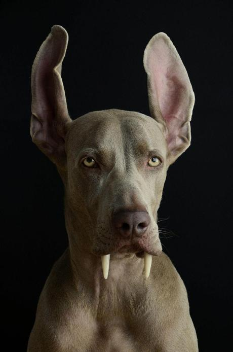 Do you think only Ian Somerhalder can make you drool over a vampire character? No, not at all! Have a good look at this dog  who knows acting is no funny business and ask yourself can Ian get any close to the charming looks of this dog(particularly his not-too-big ears)?