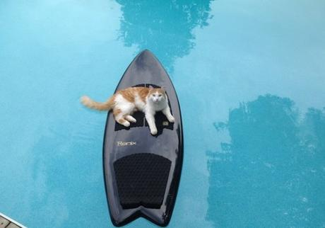 Cat on a Surfboard