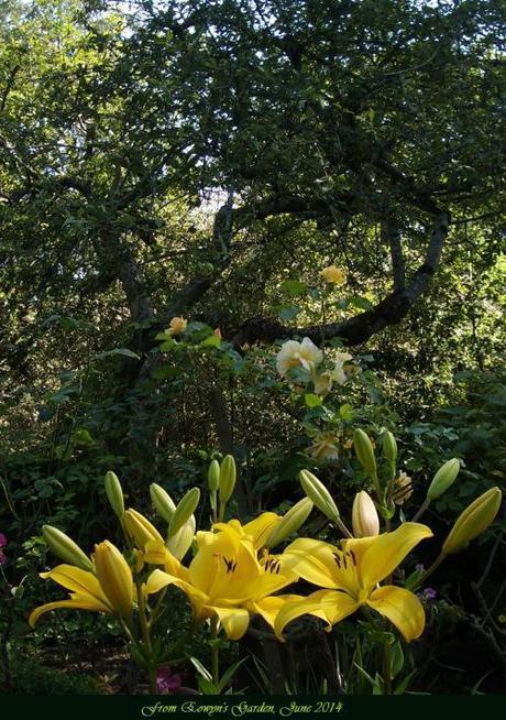 yellow daylily2