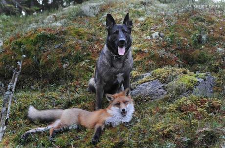 Tinni the dog and Sniffer the wild fox have been the best of friends since they met in the forests of Norway. Torgeir Berge, Tinni's owner, does what he can to keep up and photograph the pair as they play in the woods.