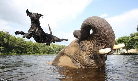 Despite the extreme difference in size, Bubbles the elephant and Bella the black lab have become great friends. Bubbles was brought to a safari reserve in the U.S. after she was rescued from ivory poachers in Africa, while Bella was left there by a contractor for the park. The two are great to see together, especially when Bella uses Bubbles as a diving board!
