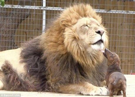 Milo the tiny dachshund took Bonedigger the lion cub under his wing when it was discovered that the lion was suffering from a metabolic bone disease that left him disabled. Five years later, the 500 pound lion is still the best of buddies with the 11-pound dachshund and his two compatriots, Bullet and Angel.