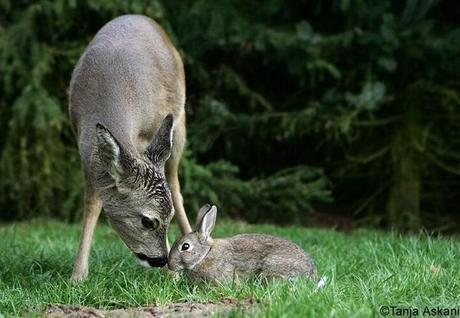 Spotted by animal photographer Tanja Askani, this unusual deer and rabbit duo looks like right out of Disney's classic Bambi.