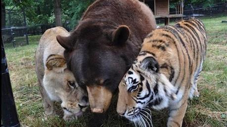 The tale of Shere Khan the tiger, Baloo the bear and Leo the lion is truly touching. The three of them were rescued together from a drug dealer who had abused them extensively. Baloo even needed surgery to remove a harness that had grown into his skin and caused deformities – the owner had never bothered to adjust it. Because of what they've suffered together, the three friends are now inseparable. They are under the care of the Noah's Ark Animal Sanctuary in the U.S.