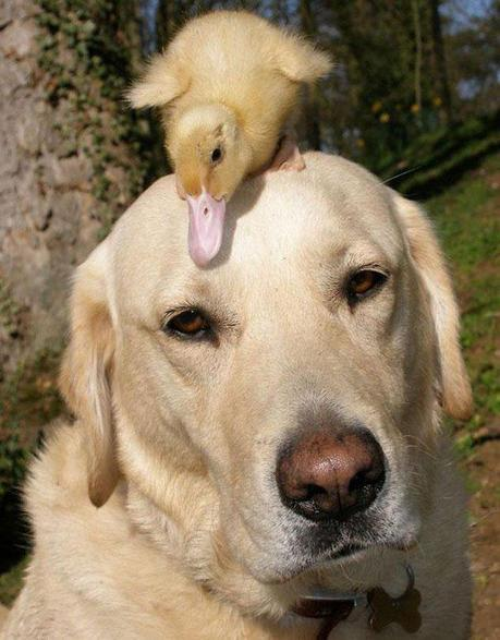 Things were looking grim for Dennis the duckling when his mother had been mauled by a fox. Fred the Labrador and his owner Jeremy, however, found and rescued Dennis. Dennis and Fred have been buddies ever since. Fred apparently has a big heart, because it's not the first time he's helped take care of an orphan – he once adopted a baby deer as well.