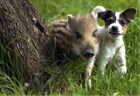Manni the wild boar piglet was found starving in a field in southwest Germany and brought home by the Dahlhaus family. When he was introduced to their Jack Russell terrier Candy, the two immediately hit it off. Since last we heard, Manni is recovering well and will either stay with his family or move to a wildlife park.