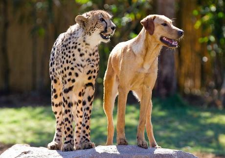 Kasi and Mtani were raised together at Bush Gardens in the U.S. During their youth, their unusual friendship was a treat to watch. As he grew into adolescence, however, Kasi began drifting away from Mtani and becoming more interested in the female cheetahs in the next pen. While Kasi now spends more time with other cheetahs, the two are still good friends and often visit schools and other places together.