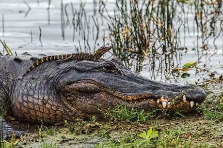 Mother-and-Baby-Gators
