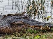 Mother Baby Alligators