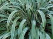 Phormium Cookianum 'Tricolour'