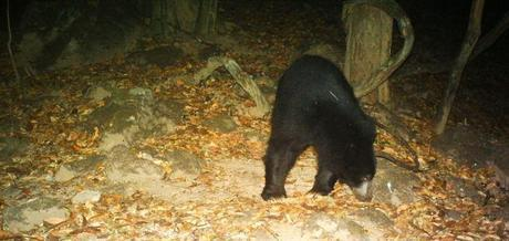 Sloth bear hopefully looking for some mangoes to munch on