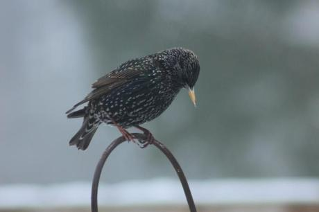 Starling in decline