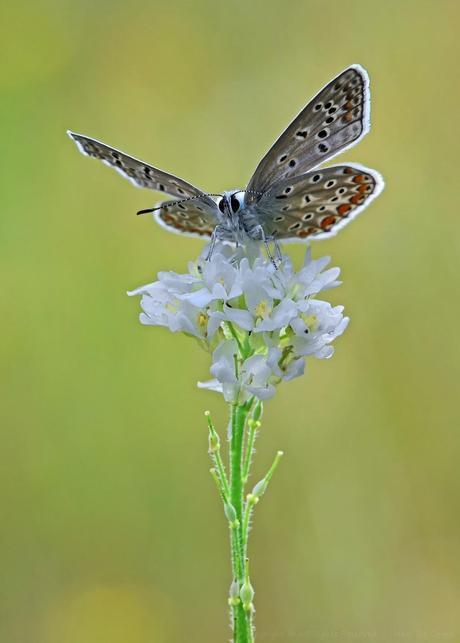 Polyommatus Icarus, Argus Bleu ,Common Blue