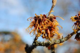 Hamamelis mollis Flower (08/02/2015, Kew Gardens, London)