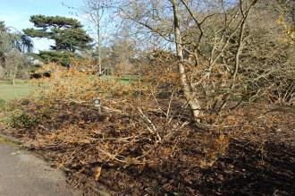 Hamamelis mollis (08/02/2015, Kew Gardens, London)