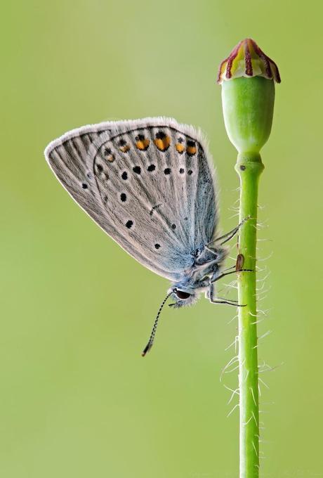 Polyommatus amandus, Azuré de la jarosse