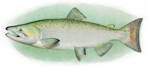 Chinook_Salmon_Adult_Male