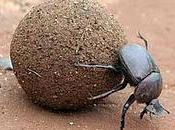 Dung Beetle Award Goes To...