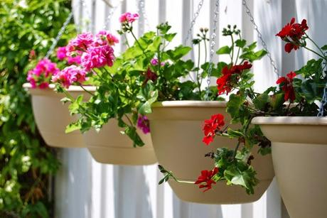 Geraniums to the rescue