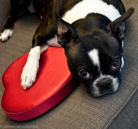 Valentine's Day doggy dangers: Chocolate is not so sweet for canine companion
