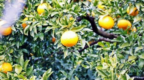 Japan Diaries: The Citrus Capital of Japan - Setoda, Onomichi City
