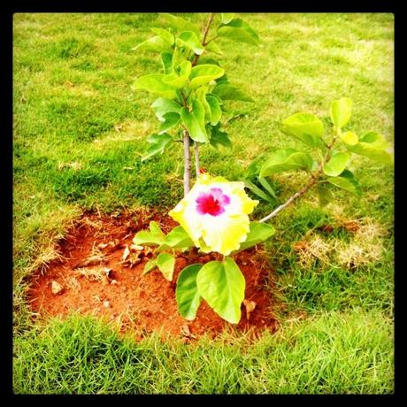 Our hibiscus plant