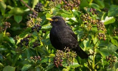 English ivy: berry good for birds