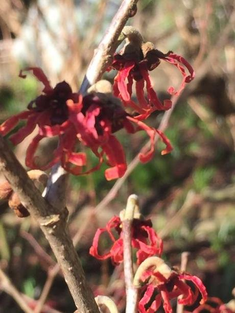 red witch hazel