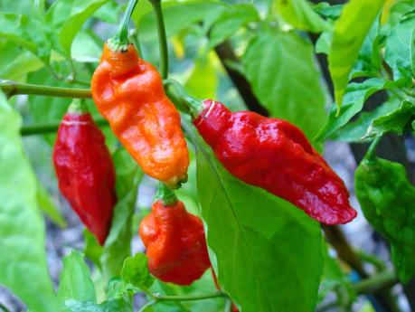 Chillis that can capsaize you!
