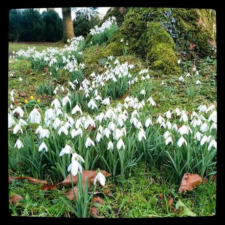 snowdrops at Springhill ~ 'growourown.blogspot.com