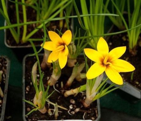 Crocus Korolowii from HW Hyde & son