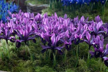 Iris Histriodes Gerorge