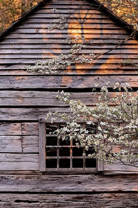 Dogwood at the Ogle Cabin © 2014 Patty Hankins