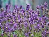 Power Lavender