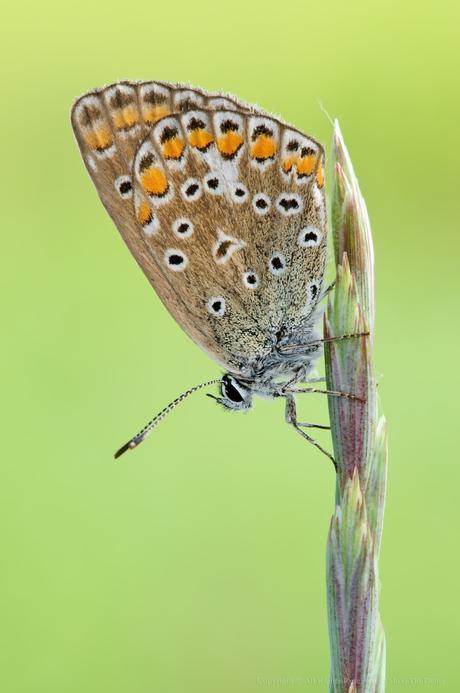 Polyommatus Icarus, Argus Bleu , Common Blue