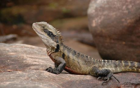 Eastern water dragon in Ku-ring-gai Chase National Park